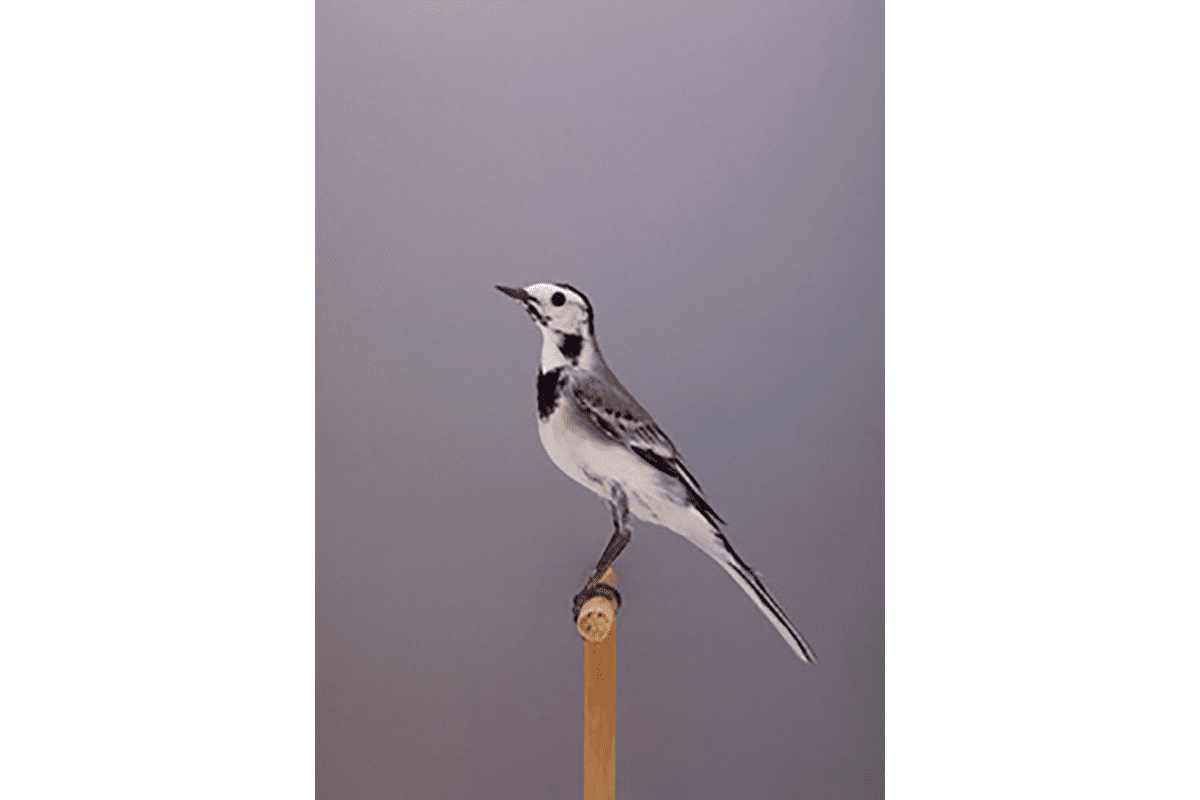 White Wagtail #1 website